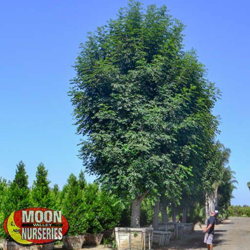 Specimen Trees Shamel Ash Specimen