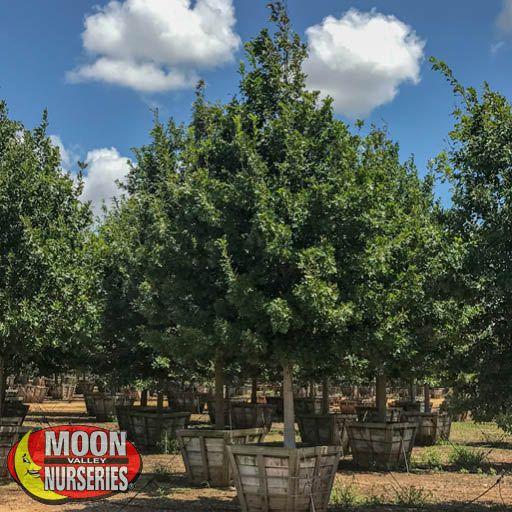 Winter to Spring Refresh TX Shumard Oak