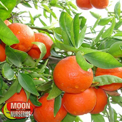 Citrus & Fruit Trees Sunburst Tangerine