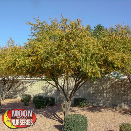 Desert Trees Sweet Acacia