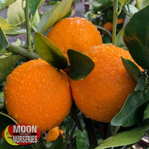 Citrus & Fruit Trees Valencia Orange