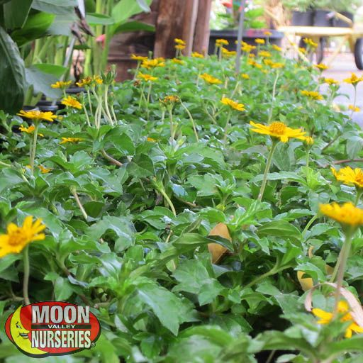 Ground Covers  Yellow Dot Wedelia