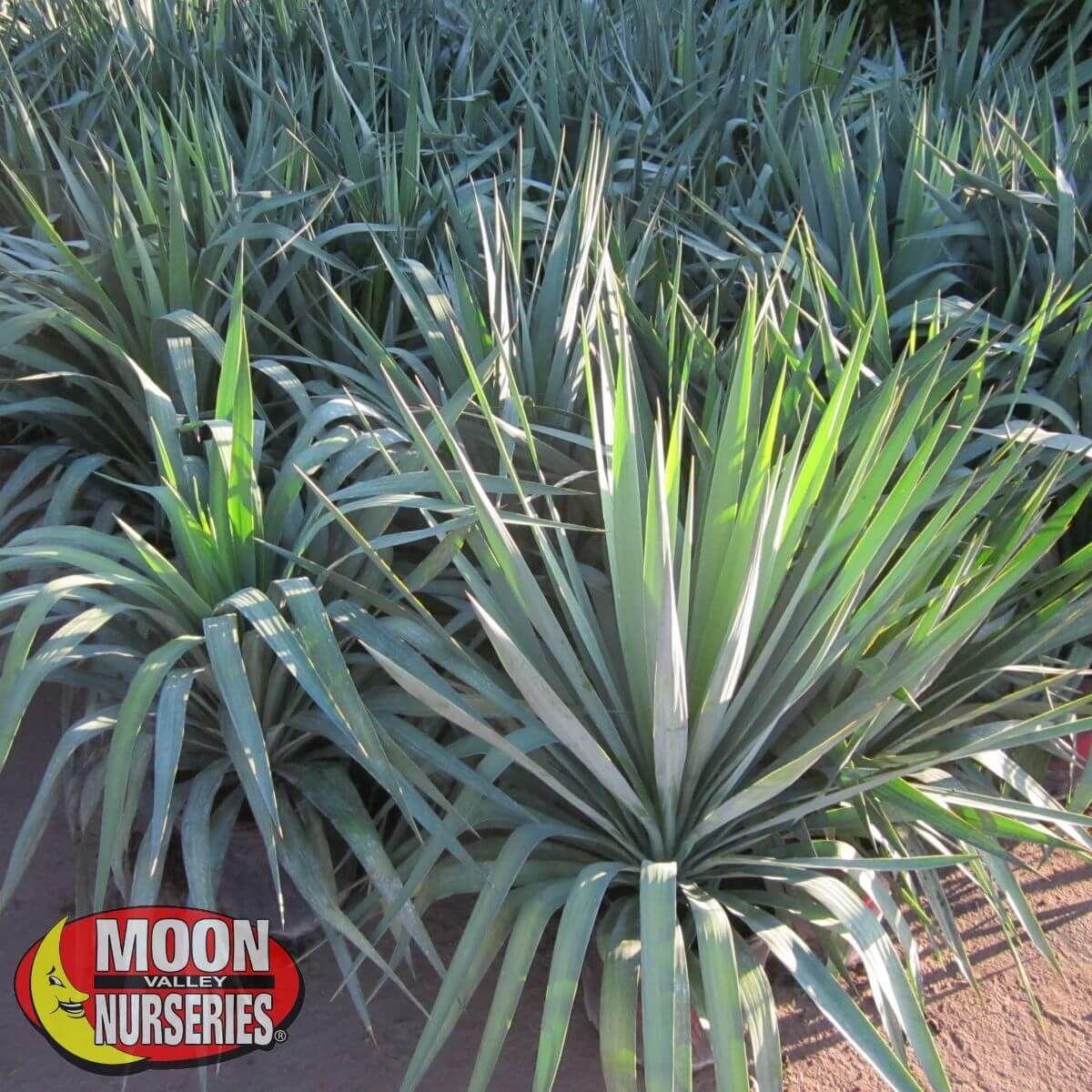 Cacti Agave and More Yucca Pendula