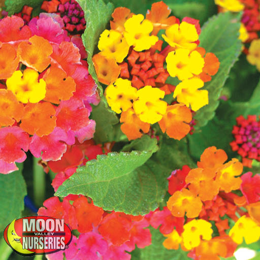 Lantana Irene Shrubs Moon Valley Nurseries