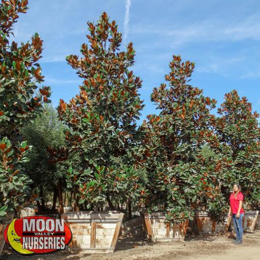Magnolia Flowering Trees Moon Valley Nurseries