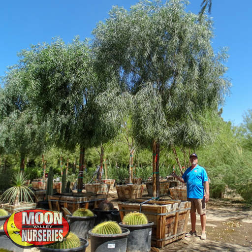 Willow Acacia Desert Trees Moon Valley Nurseries