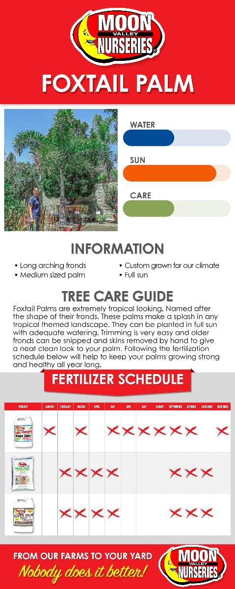 Foxtail Palm care guide