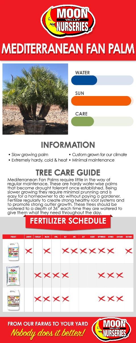 Mediterranean Fan Palm care guide