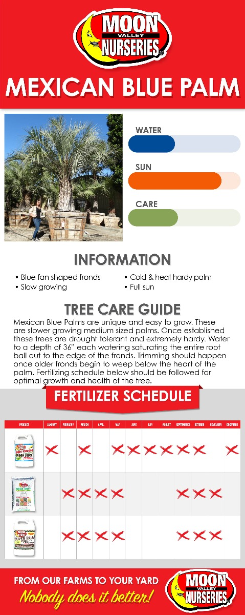 Mexican Blue Palm care guide