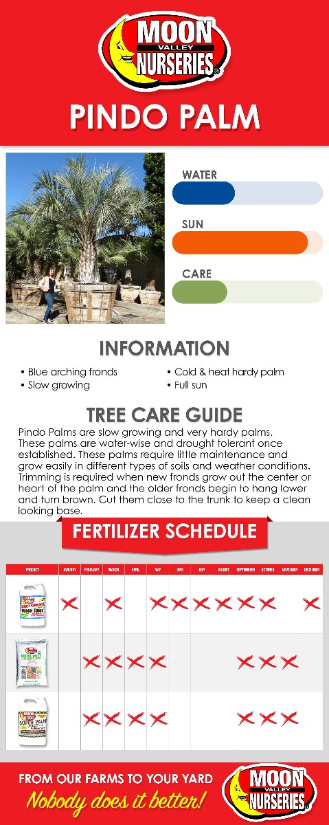 Pindo Palm care guide