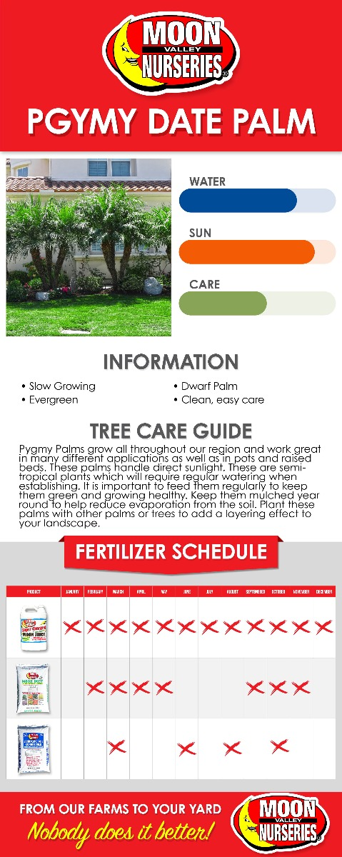 Pygmy Date Palm care guide