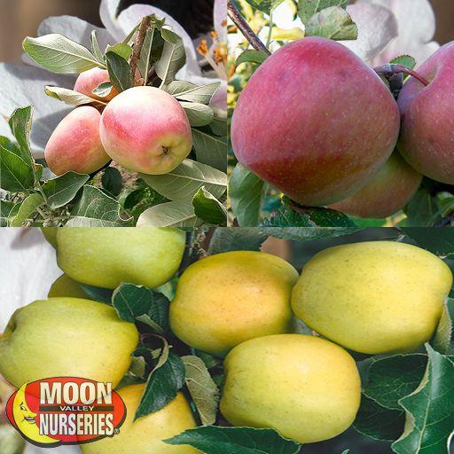 Citrus & Fruit Trees 3 in 1 Apple Tree