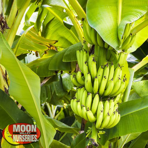 Palm Paradise Trees Banana Palm