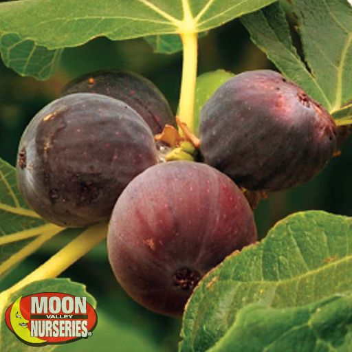 Citrus & Fruit Trees Brown Turkey Fig