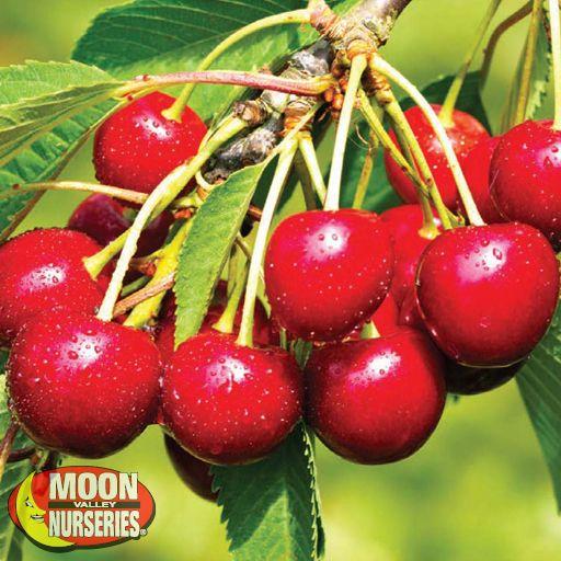 Citrus & Fruit Trees Minnie Royal Cherry