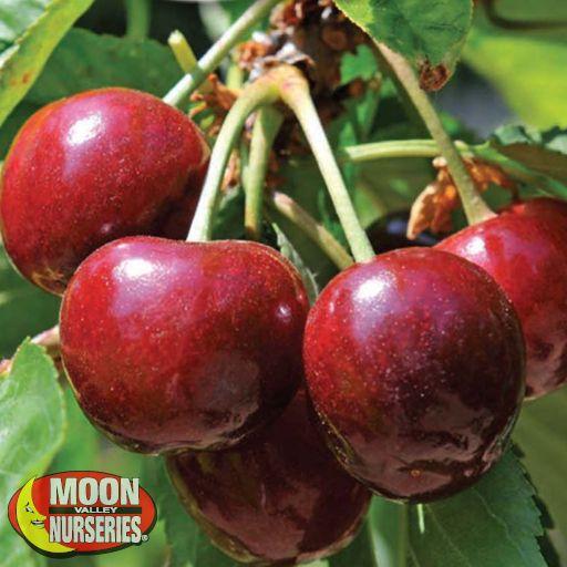 Citrus & Fruit Trees Royal Lee Cherry