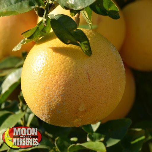 Citrus & Fruit Trees Cocktail Grapefruit