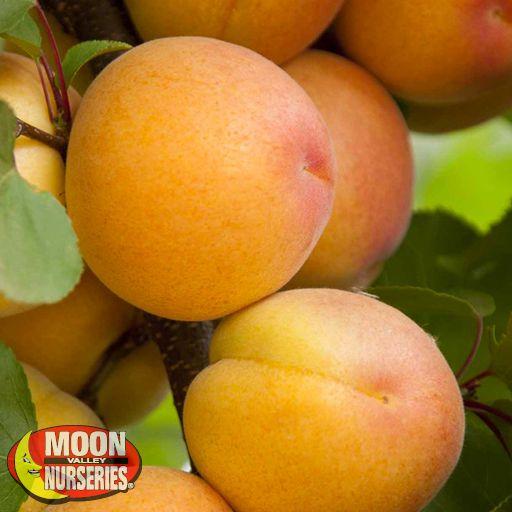 Citrus & Fruit Trees Aprium Flavor Delight