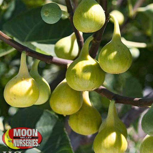 Citrus & Fruit Trees White Genoa Fig