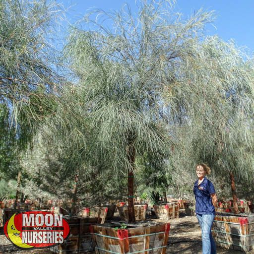 Desert Trees Shoestring Acacia