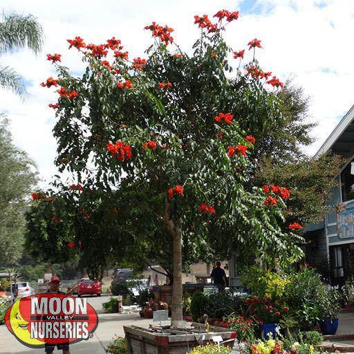 Flowering Trees African Tulip