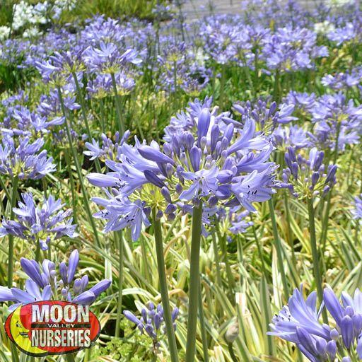 Winter to Spring Refresh CA Agapantha