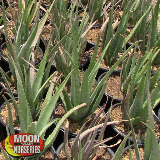 Cacti Agave and More Aloe Vera