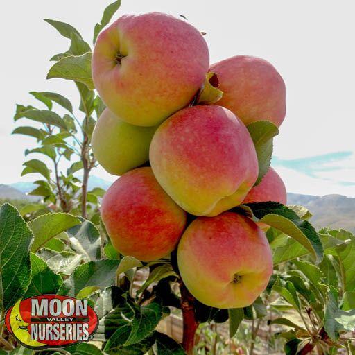 Citrus & Fruit Trees Anna Apple Tree