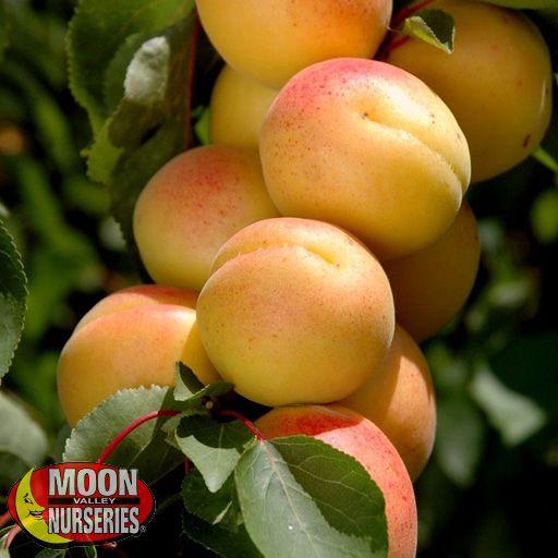 Citrus & Fruit Trees Royal Blenheim Apricot