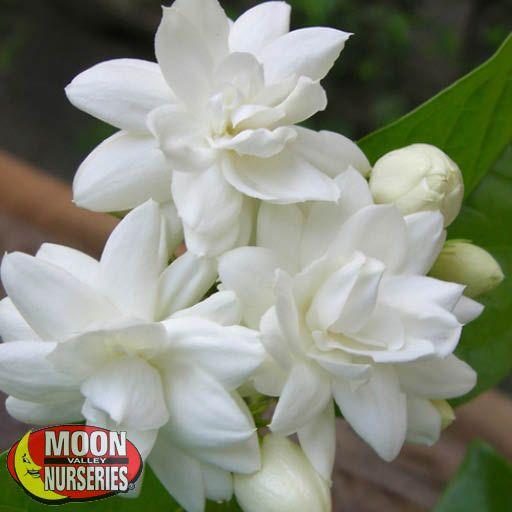 Shrubs Arabian Jasmine
