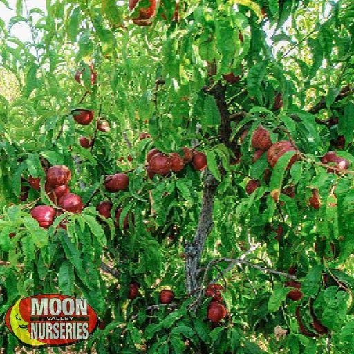 Citrus & Fruit Trees Arctic Star Nectarine
