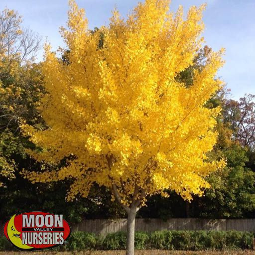 Fast Growers Autumn Gold Maidenhair Tree