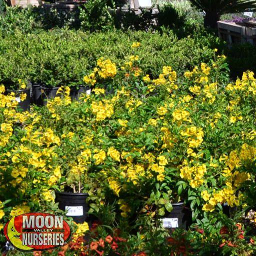 Shrubs Arizona Yellow Bells