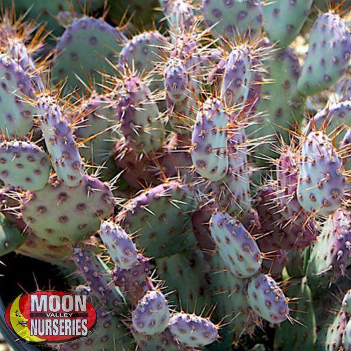 Cacti Agave and More Baby Rita Prickly Pear Cactus