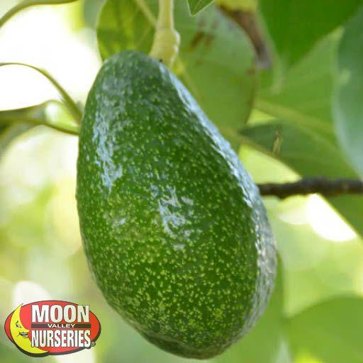 Citrus & Fruit Trees Bacon Avocado