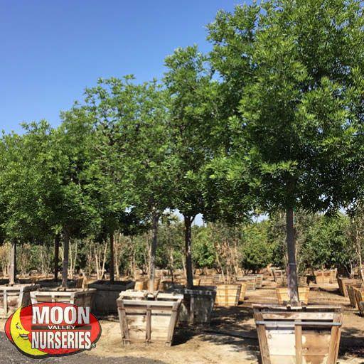 Specimen Trees Berrinda Ash Specimen