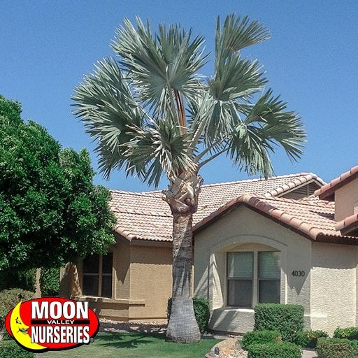 Palm Paradise Trees Bismarck Palm