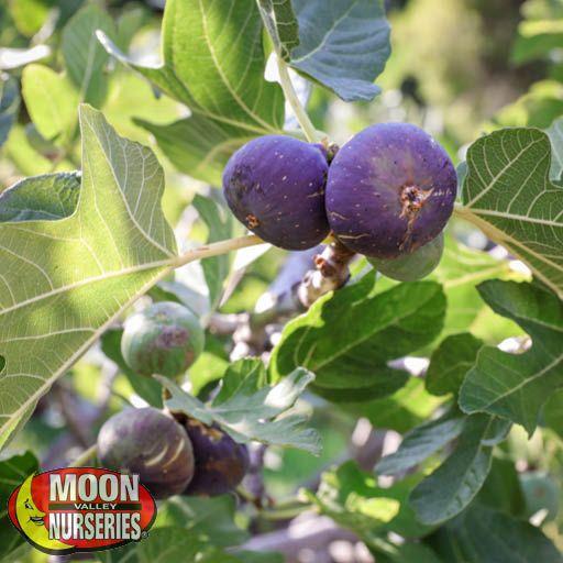 Citrus & Fruit Trees Black Mission Fig
