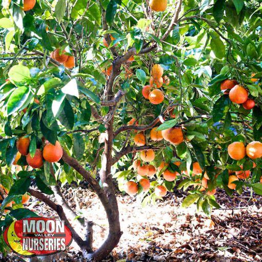 Citrus & Fruit Trees Blood Orange Tree
