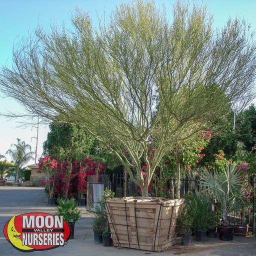 Desert Trees Blue Palo Verde