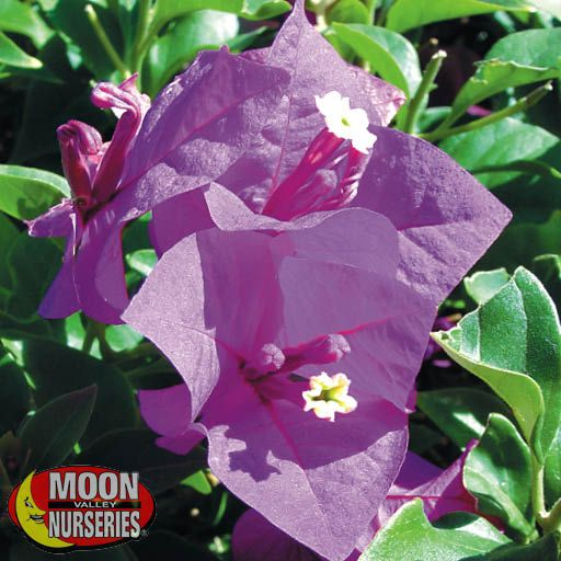 Shrubs Bougainvillea Purple