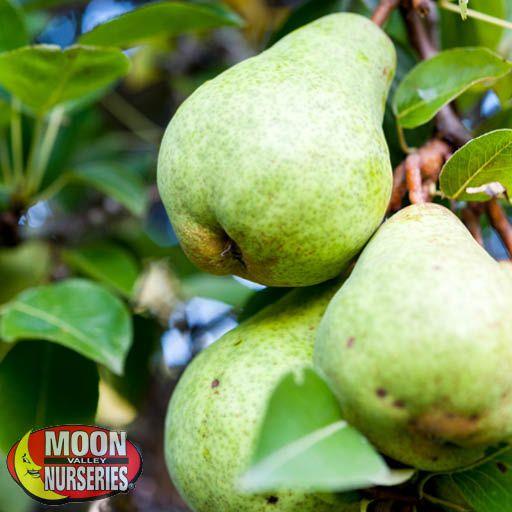 Citrus & Fruit Trees Bartlett Pear