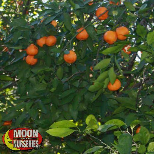 Citrus & Fruit Trees Brown Select Satsuma