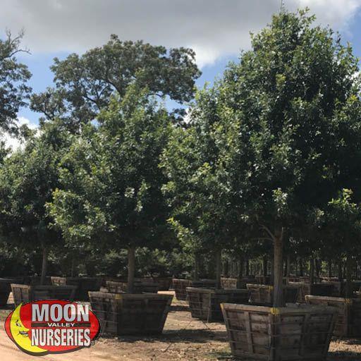 Trees of Winter Bur Oak