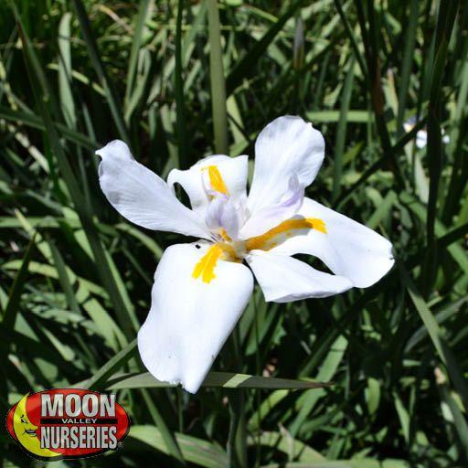 Shrubs Butterfly Iris