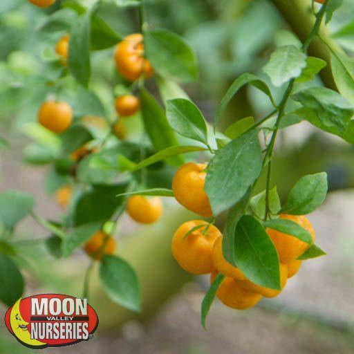 Citrus & Fruit Trees Calamondin Orange