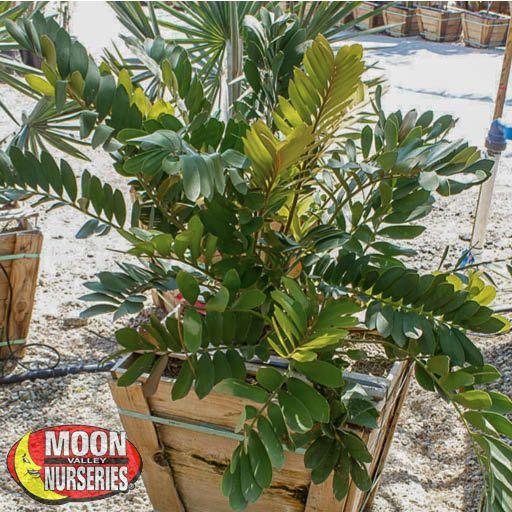 Palm Paradise Trees Cardboard Palm