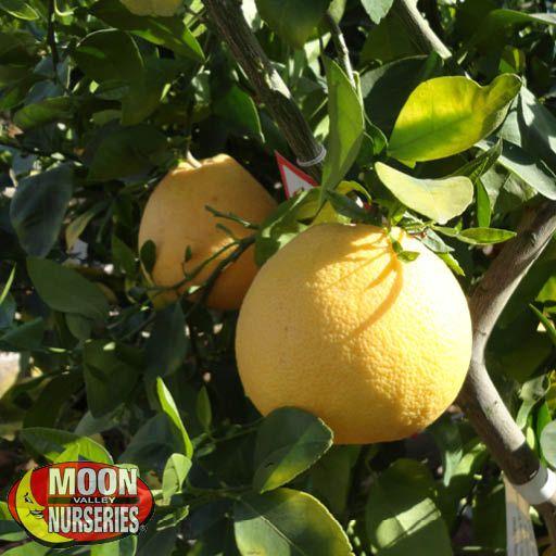 Citrus & Fruit Trees Chandler Red Pummelo