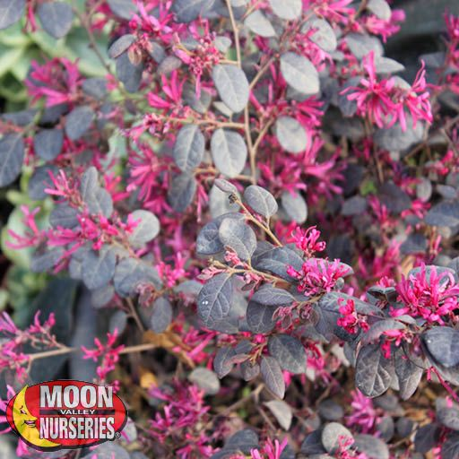 Shrubs Chinese Fringe Flower