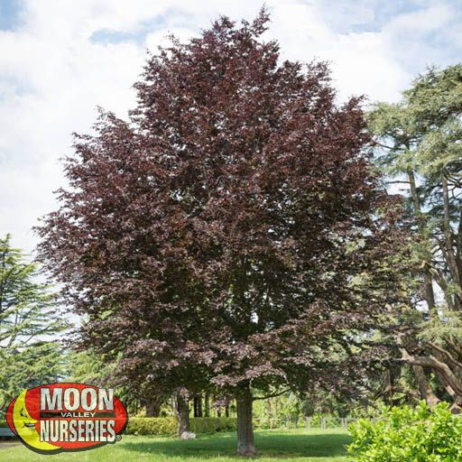 Specimen Trees Copper Beech